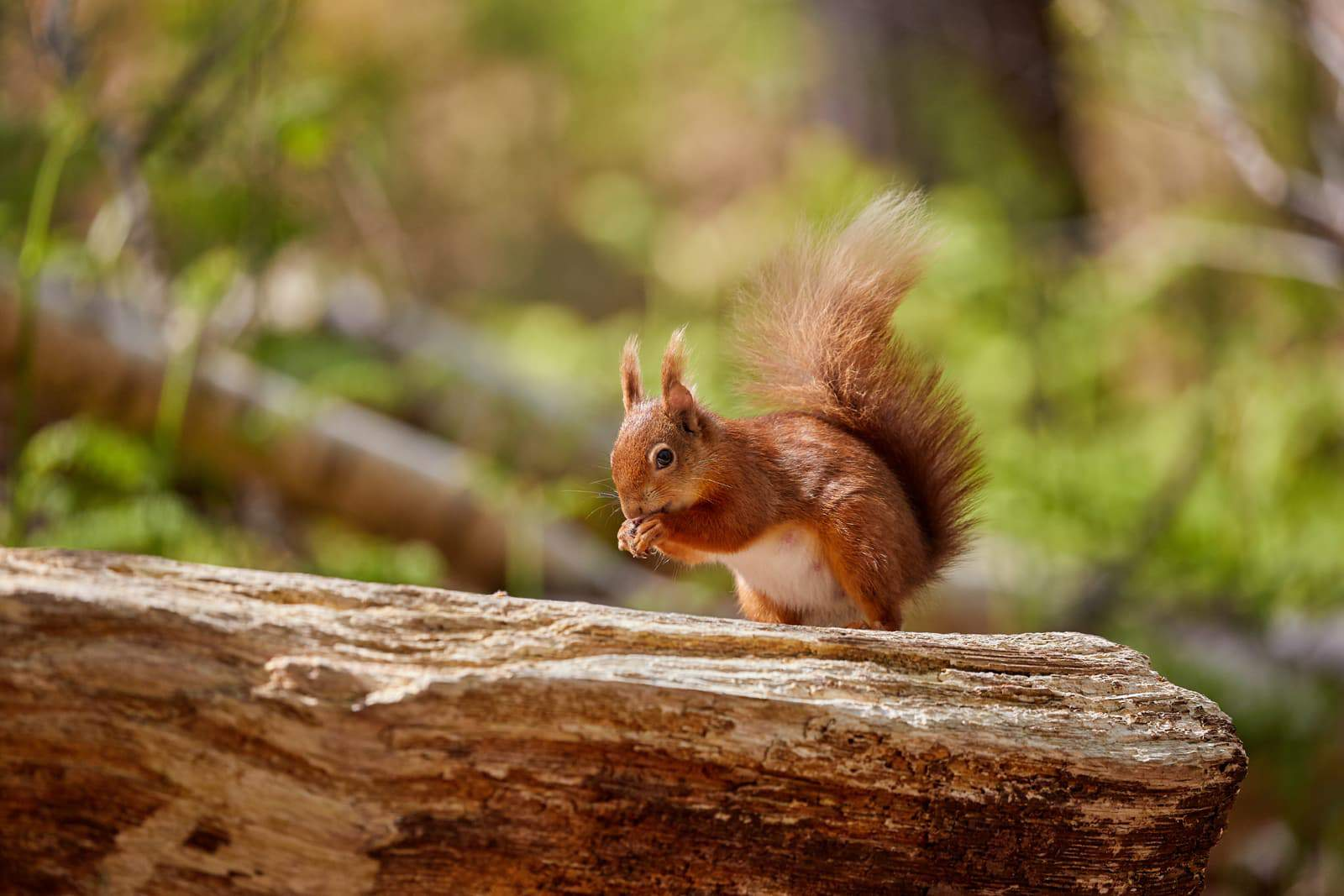 Brownsea Island is the largest island in Poole Harbour and one of the last safe havens for red squirrels in the south of the UK, boasting a significant population for its size. Photo ©Nigel Wood