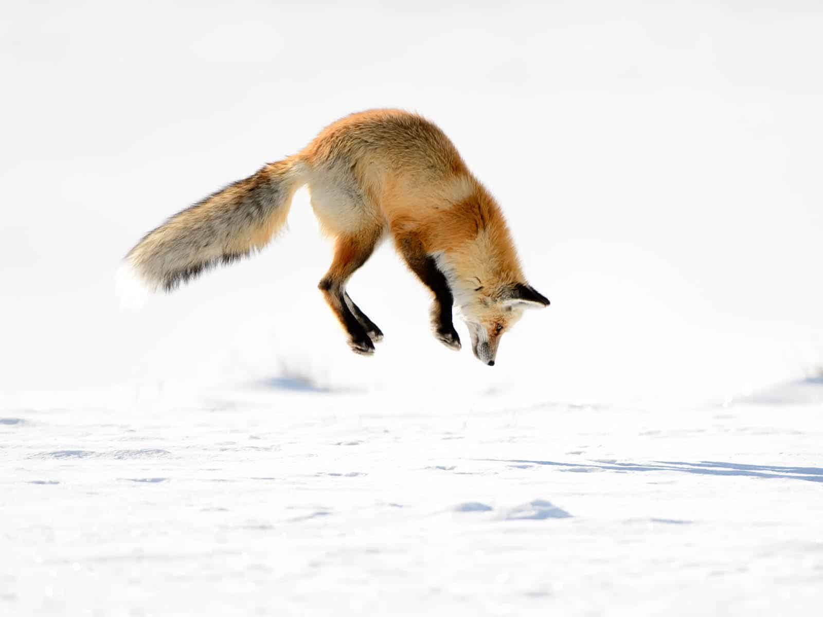 10 Fox a-leaping