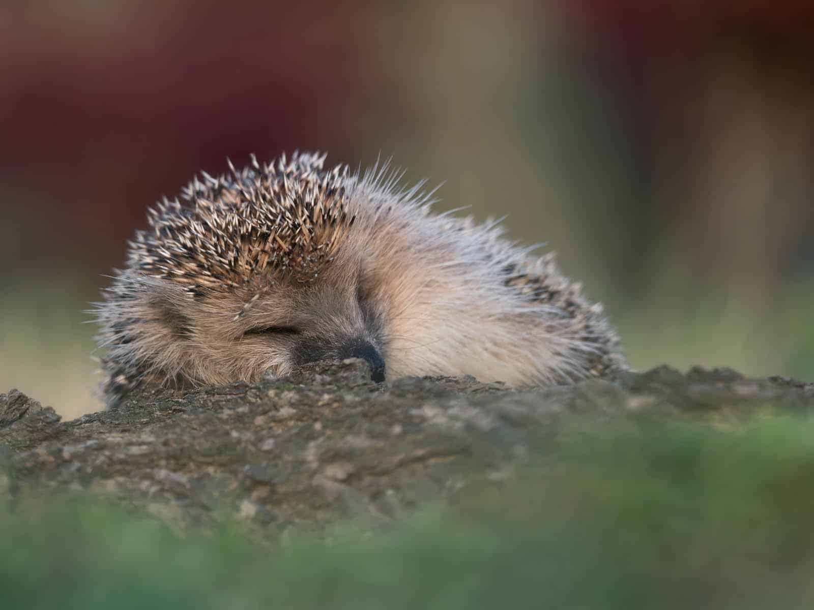 8 Hoglets a–sleeping