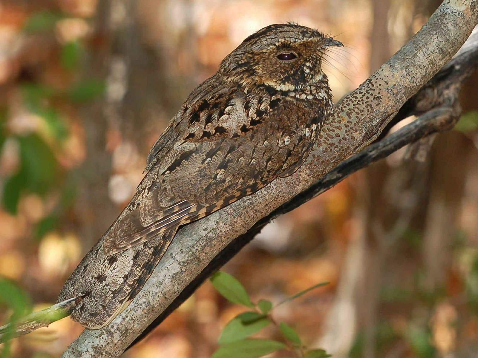 Purbeck Heaths National Nature Reserve Nightjar