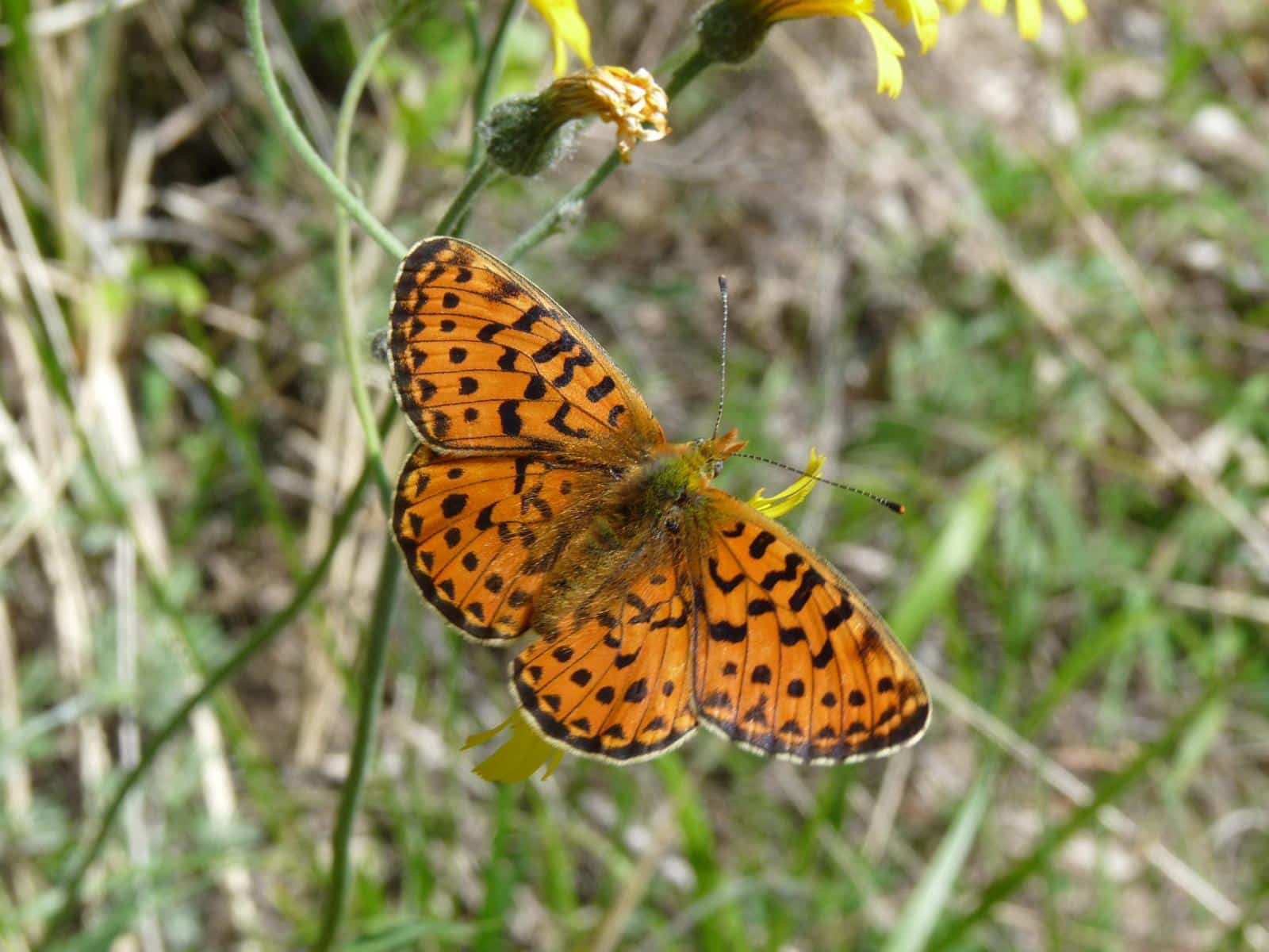 Purbeck Heaths National Nature Reserve Pearl Bordered Fritillary Butterflies