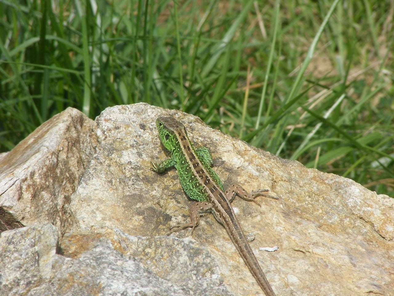 Purbeck Heaths National Nature Reserve Sand Lizard