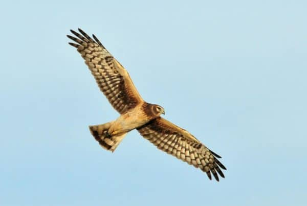 Purbeck Heaths National Nature Reserve - en Harrier
